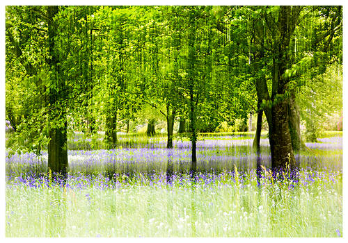 Bluebell Heaven II