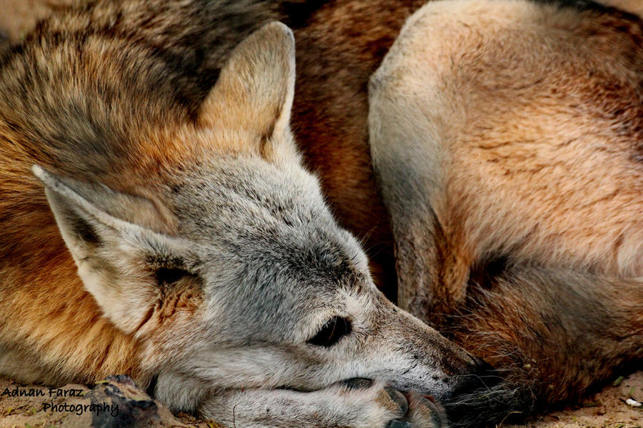 Arabian Desert Wolf by JuiceMonkey610