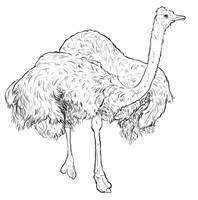 Ostrich by jennyweatherup