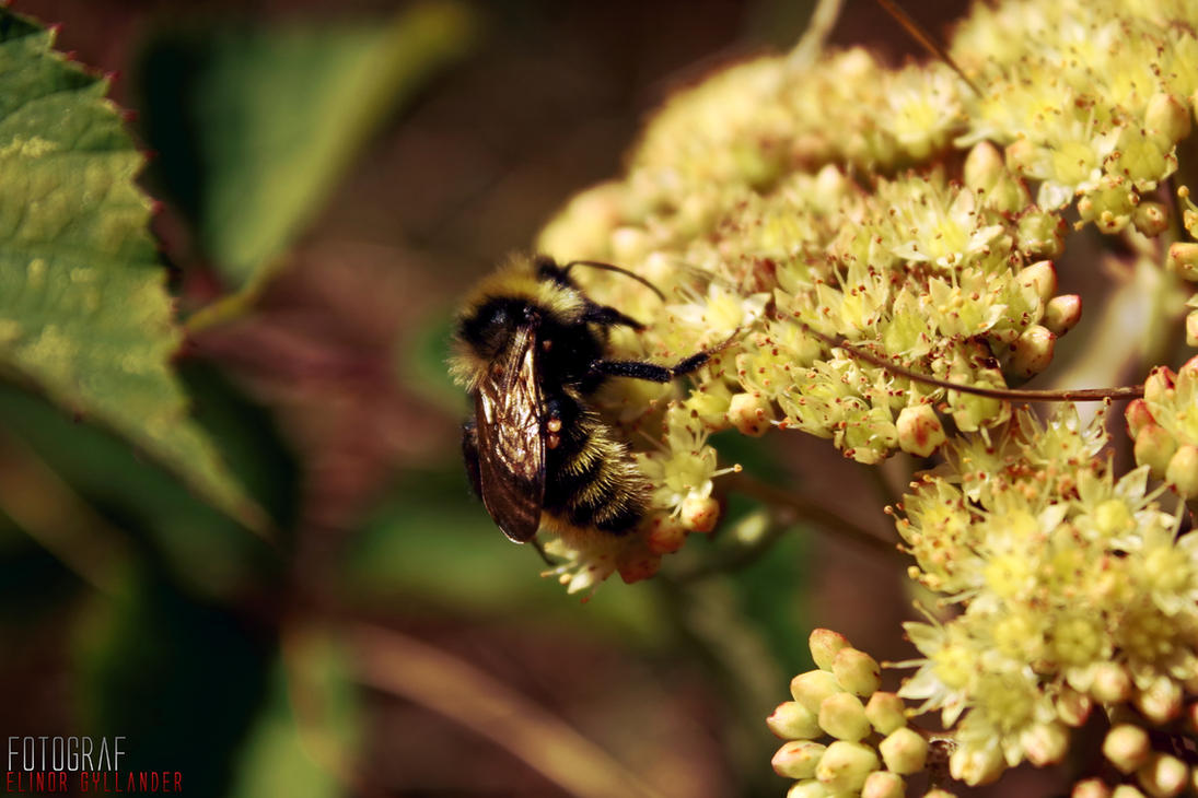 Bumblebee in a golden garden by Sockeri