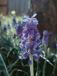 Muscari blue spring grapes by Fiery-Fire