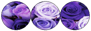 Purple Roses Divider by MissToxicSlime