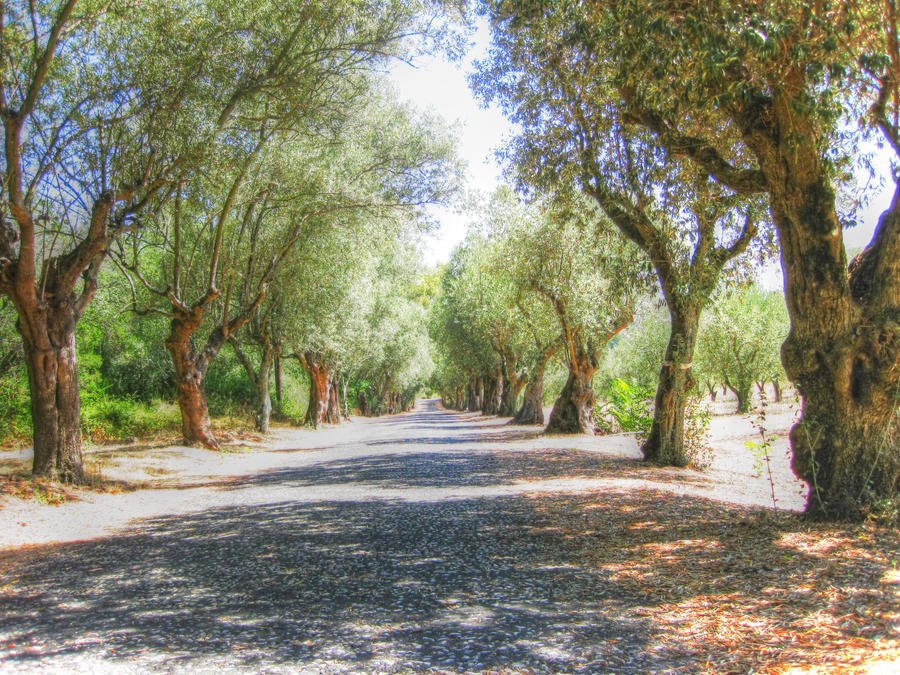 Olive trees hdr by 7ero on deviantart for What to plant under olive trees