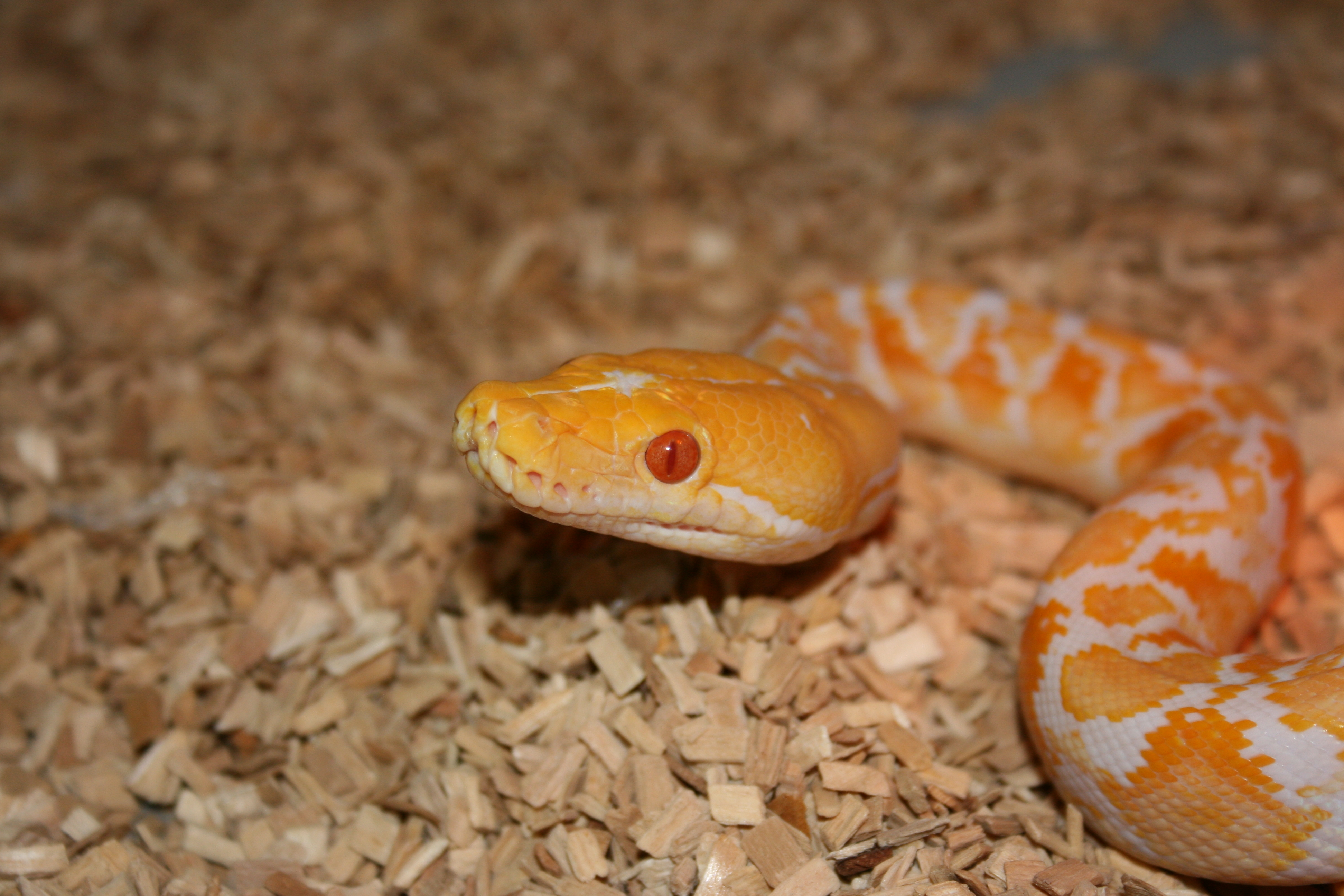 Baby Reticulated Python Albino reticulated python by