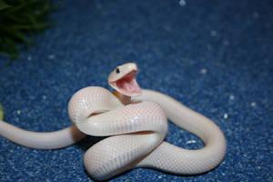 leucistic texas rat snake by boakid