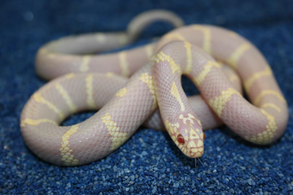 albino cali king snake by boakid