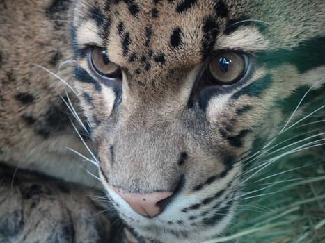 Clouded Leopard Face Closeup