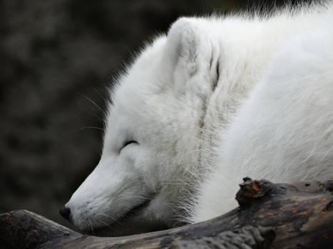 Arctic Fox Closeup Eyes Close