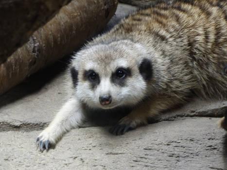 Meerkat Resting