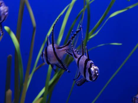 Duo Cardinal Fish