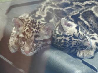 Clouded Leopard Cubs by kazuma52