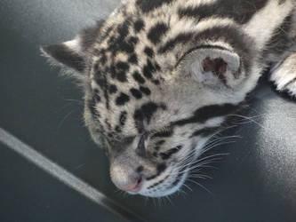 Sleeping Clouded Leopard Cub by kazuma52