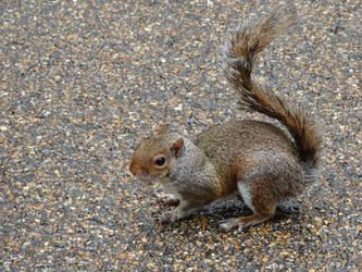 Squirrel by kazuma52