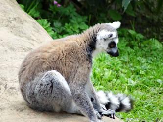 Ring Tailed Lemur by kazuma52
