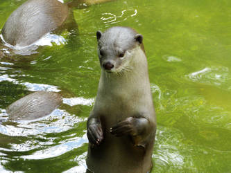 Standing Otter in Water by kazuma52