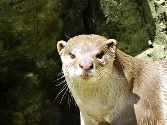 Otter by kazuma52