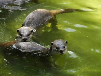 Swimming Otters by kazuma52
