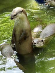 Standing Otter by kazuma52