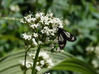 Butterfly on a flower by kazuma52