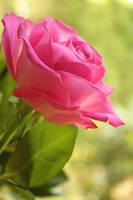 Rose by Elysium6