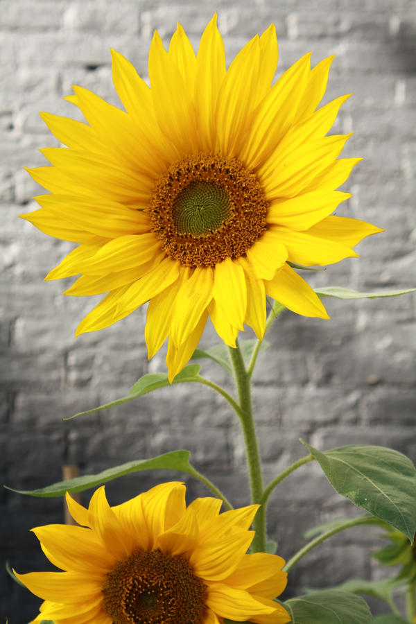 Sunflowers by Elysium6