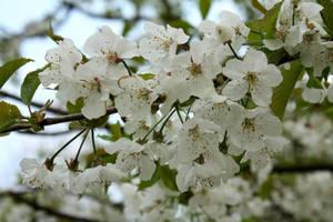 Blossom by Elysium6