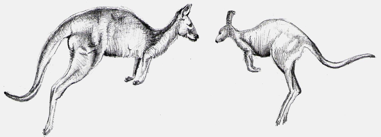 Kangaroo Sketches By Maestroamn On Deviantart