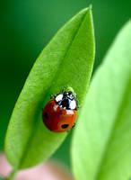 ladybug by dariusn