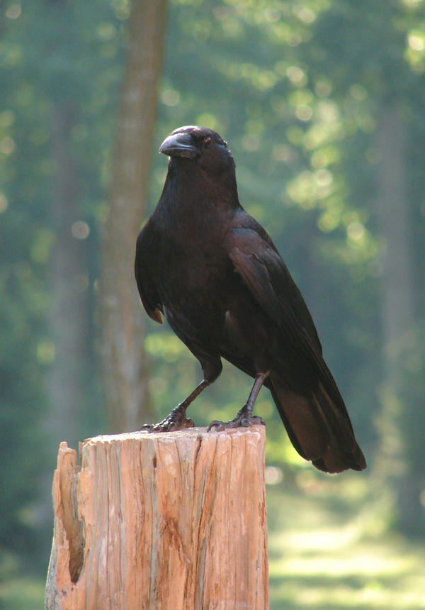 crow stock 3