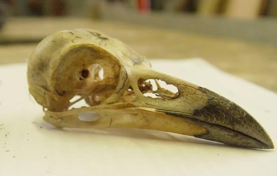 crow raven bird skull 1