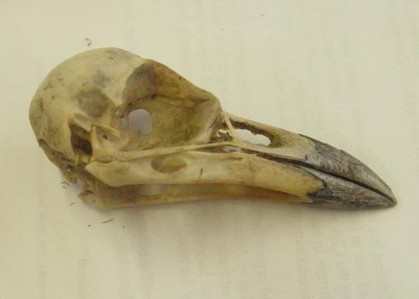 crow raven bird skull 3 by InKi-Stock