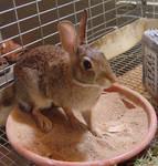 Wild rabbit stock