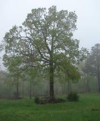 Misty oak 1