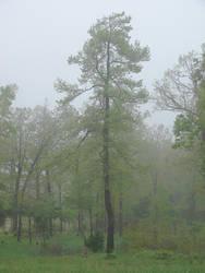 Gum tree in the mist