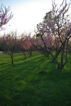Peach Orchard 1