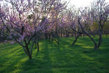 Peach orchard 2