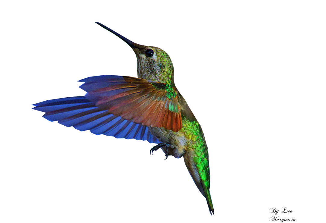 Hummingbird... Animation by Leocervas