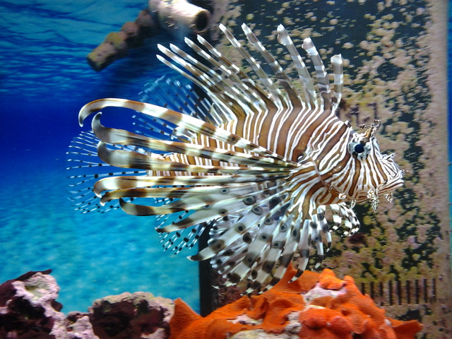 Lion Fish! by IwasBrokenOnceBefore