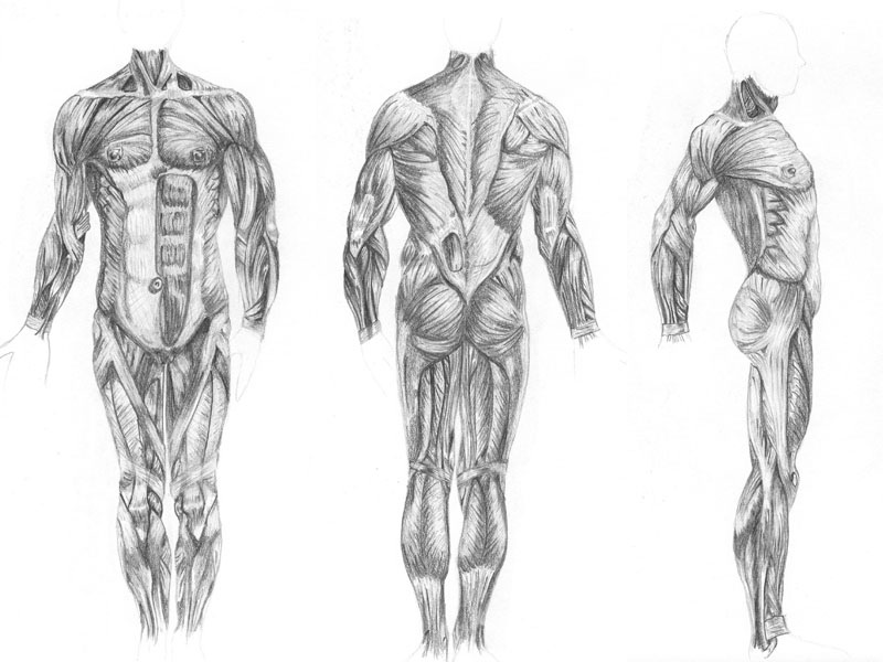Muscles of the BODY by anime234dotcom on DeviantArt