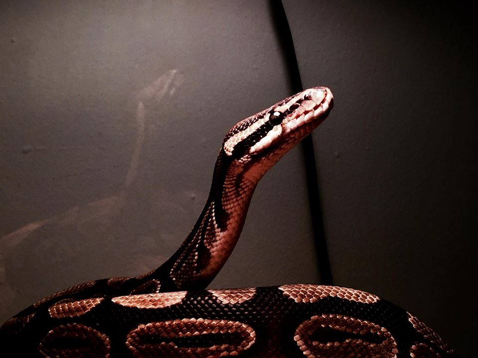 Ball Python (Male, 17 years old) by N4S-GFX