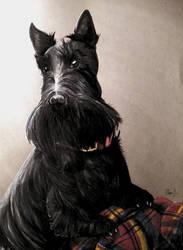 Scottish Terrier  by AliyaSapphire