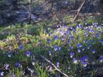 Wild violets II by diamondie-stock