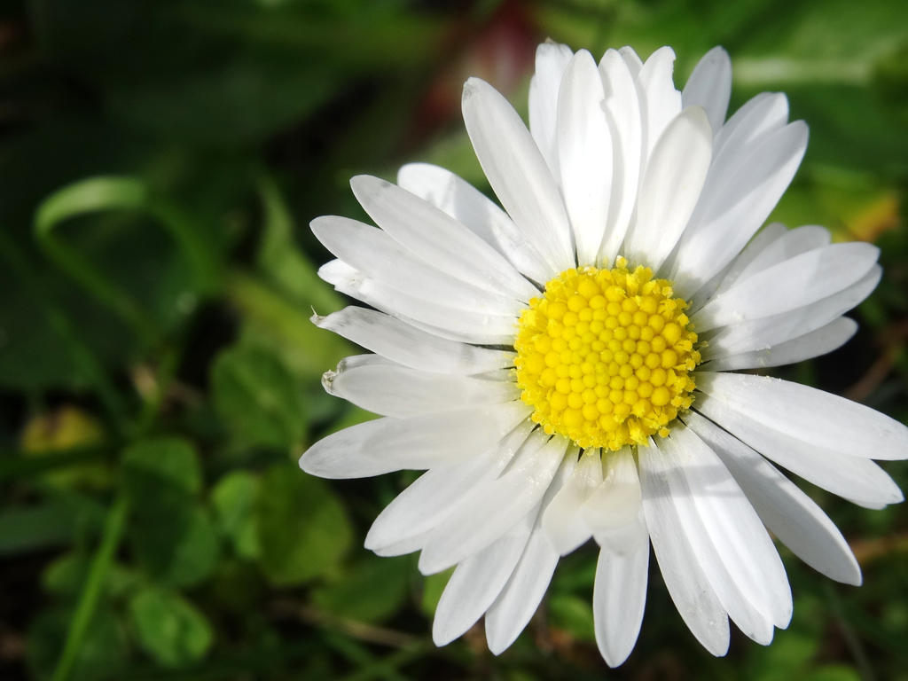 Daisy by xdarkmemoriesx