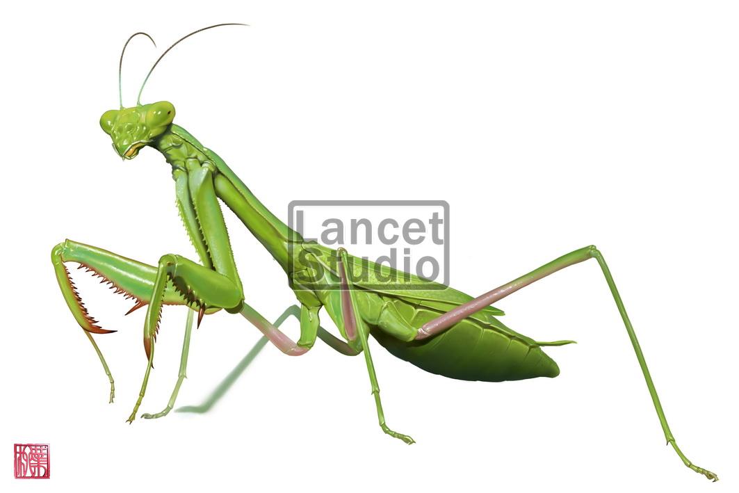 Anatomy Of A Praying Mantis