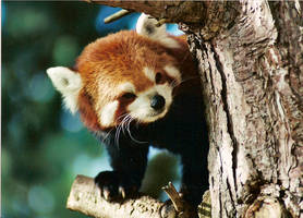 Red Panda by Squire22