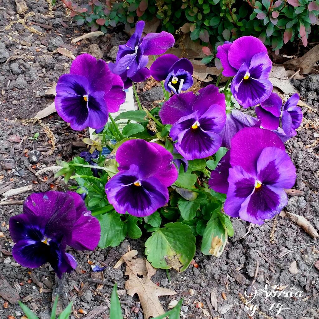 Violet viola. by virnagray