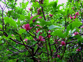 Magnolia Flowers by k612