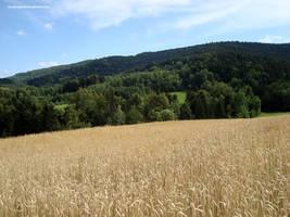 Field of grain, wheat, in Poland by KarolinaGlod