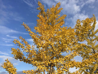 Ginkgo's Radiant Glow - I - Iphone Photography by robskind