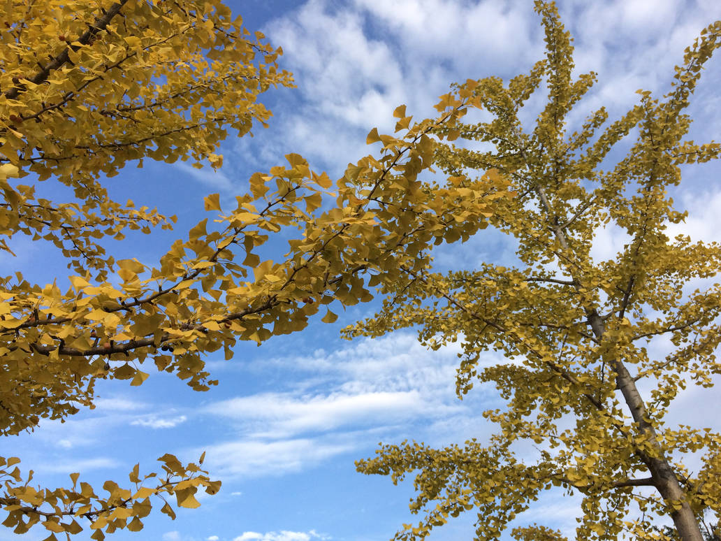 Ginkgo's Radiant Glow - II - Iphone Photography by robskind